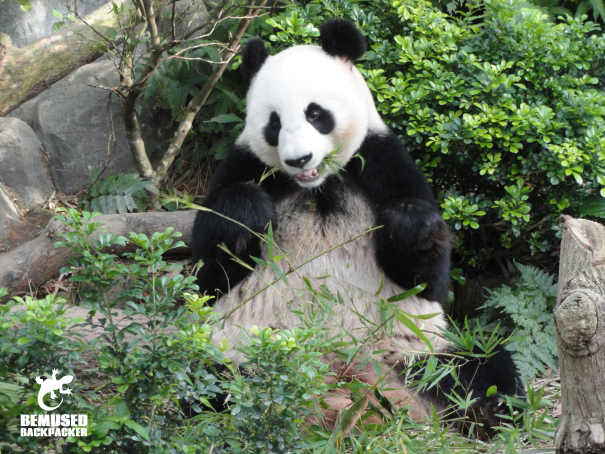 panda conservation on a gap year