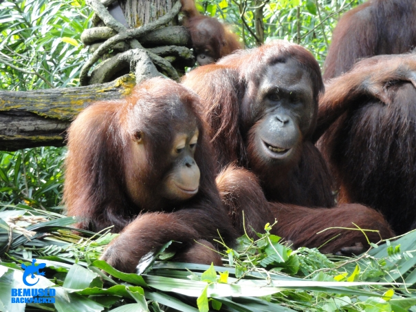 Orang utan animal conservation wildlife tourism gap year volunteering