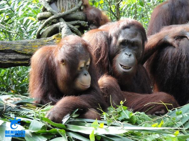Orang utan animal conservation wildlife tourism gap year volunteering