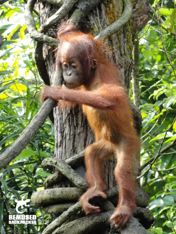 Orangutan animal conservation Borneo
