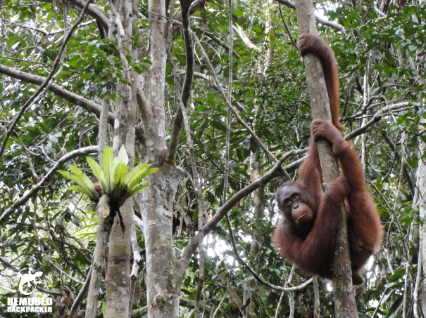Orang utan rehabilitation centre Borneo