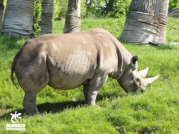 White Rhino in Chester Zoo