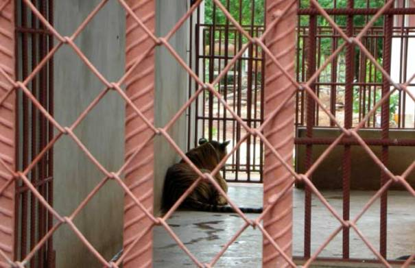 Tiger Temple Abuse Thailand.