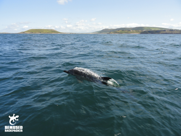 Responsible dolphin spotting on the Gower coast, Wales