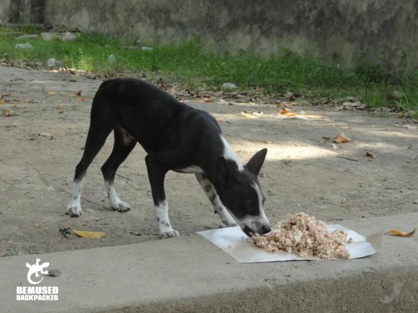 BAWA Bali  dog