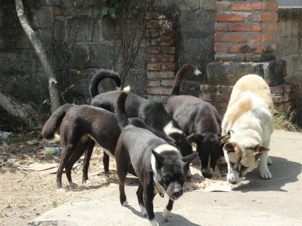 BAWA Bali dogs