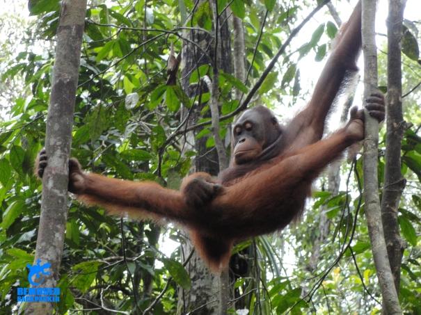 Borneo orang utan