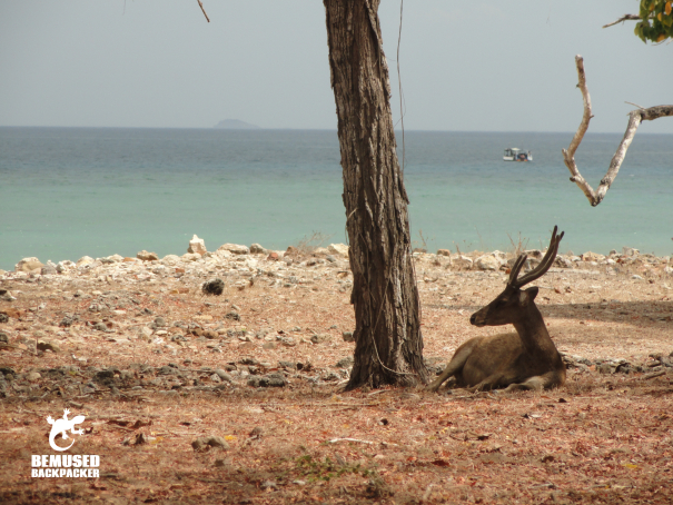 Deer on the beach at Komodo Island National Park Indonesia