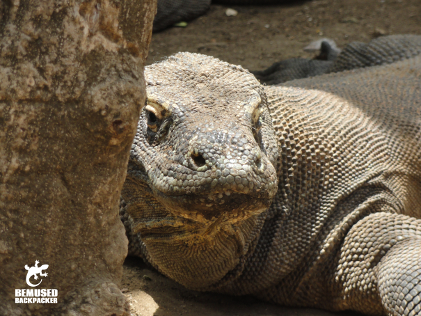 Komodo Dragon on Komodo Island Indonesia