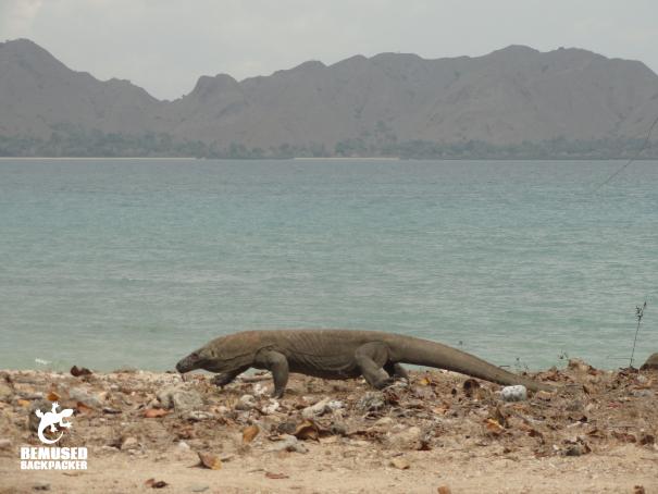 Komodo Dragon on the beach at Komodo Island National Park Indonesia