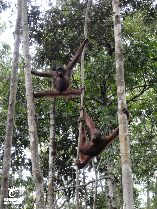 seeing Orang Utans in the wild at an Orangutan rehabilitation centre Borneo