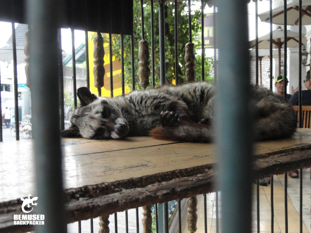 Civet in a cage being used to process Kopi Luwak, coffee tourism Java Indonesia