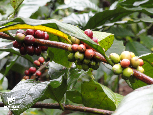 Coffee beans coffee plantation tourism Java Indonesia