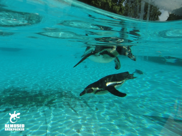 Penguin swimming underwater at London Zoo
