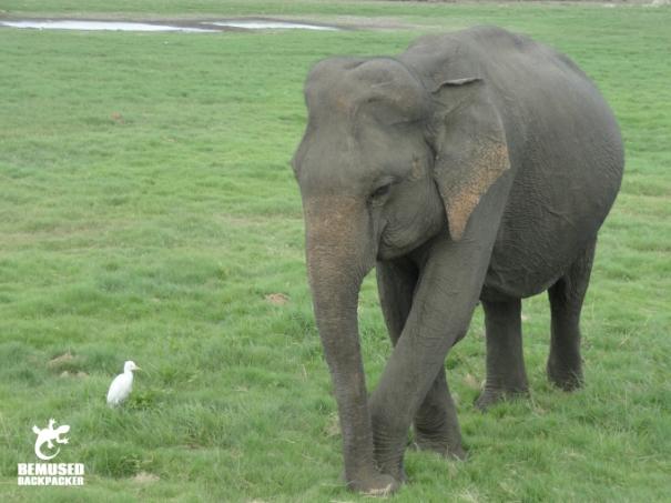 Baby Elephant in Minneriya National Park Sri Lanka