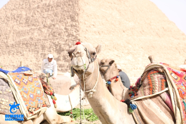 Camel Rides In Cairo Egypt