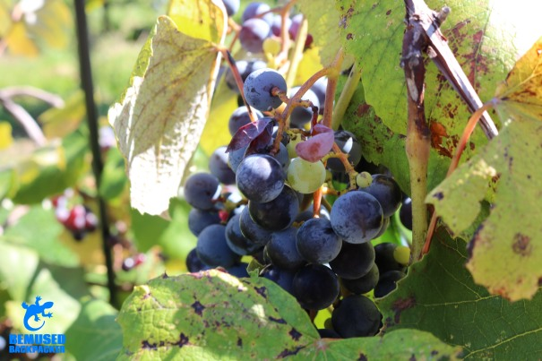 wine grapes at a Finger Lakes New York winery