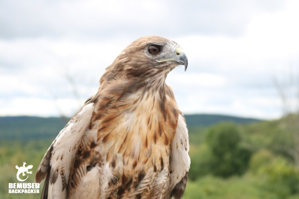 Hawk at Tanglewood Nature Center in Finger Lakes New York