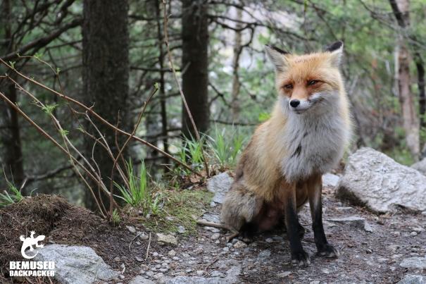 Slovakia fox